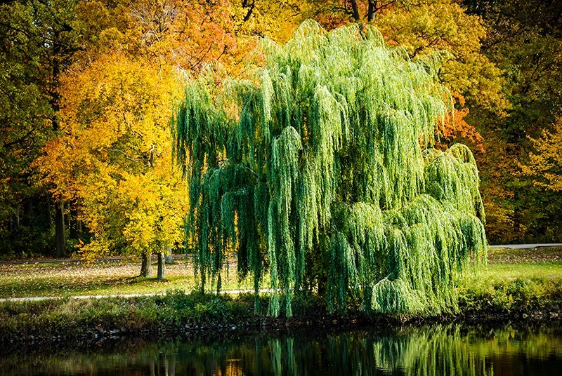 Weeping-Willow-on-Lake-Bank